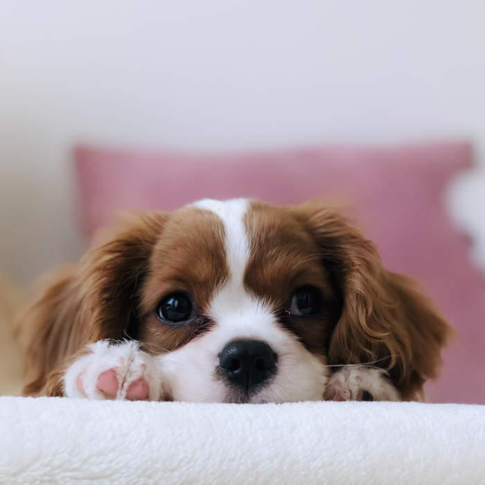 Astuce dressage de chien à la Réunion. Accueil d'un nouveau chien dans le foyer aidé par un éducateur canin.